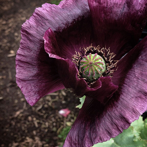 "Papaver somniferum ""Lauren's Grape"""