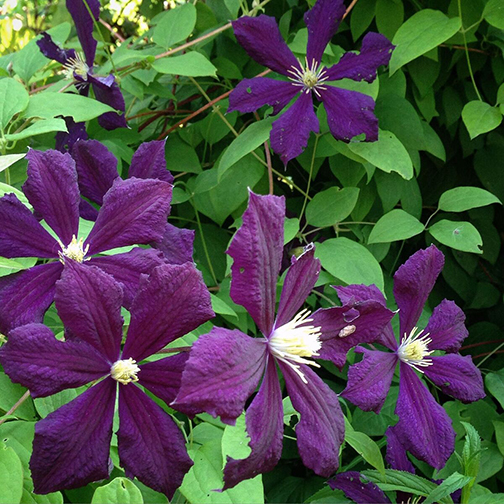 "Clematis ""Etoile Violet"""