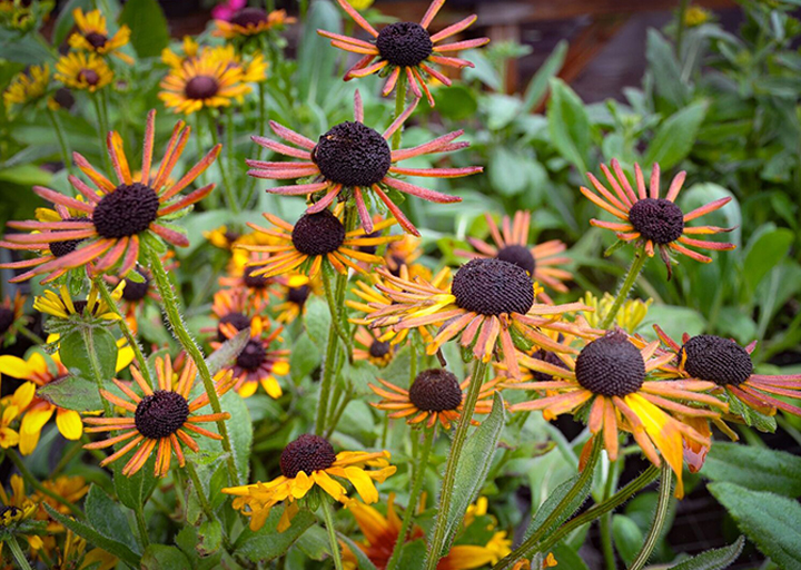 annual Rudbeckia variety