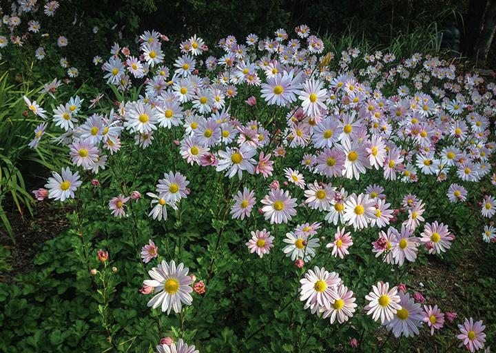 Chrysanthemum x Clara Curtis