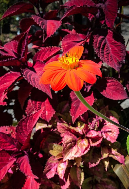 "Coleus and Tithonia ""Torch"""