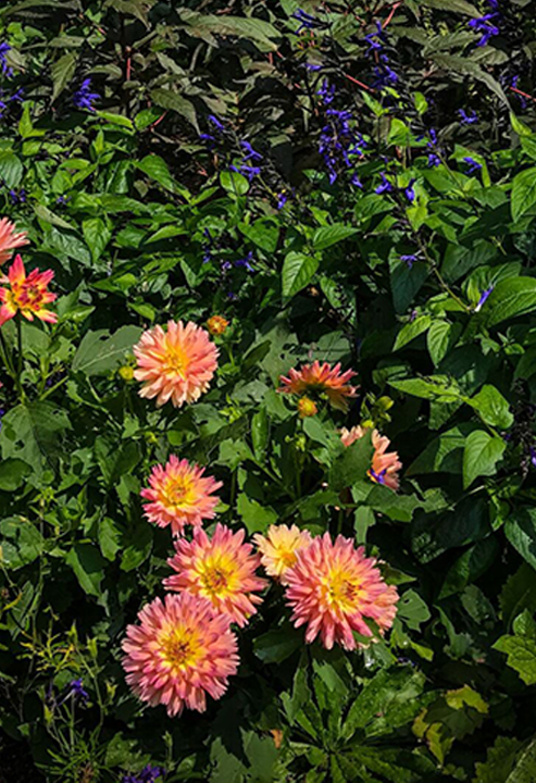 "Dahlias and Salvia gaurinitica ""Black and Blue"""