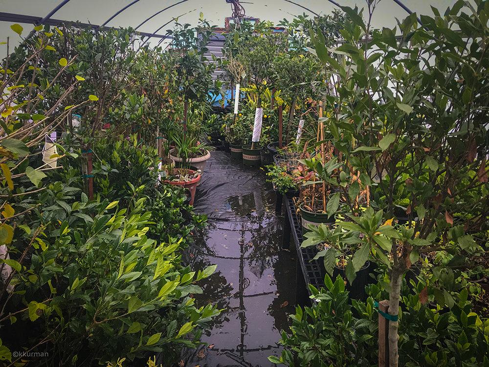 Vineyard Gardens - Overwintering House:Gardenias, Hibiscus, Citrus
