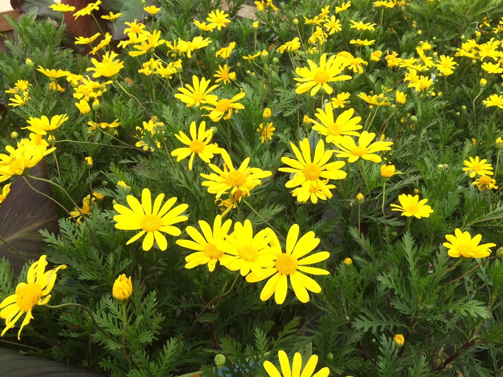 Euryops yellow daisy