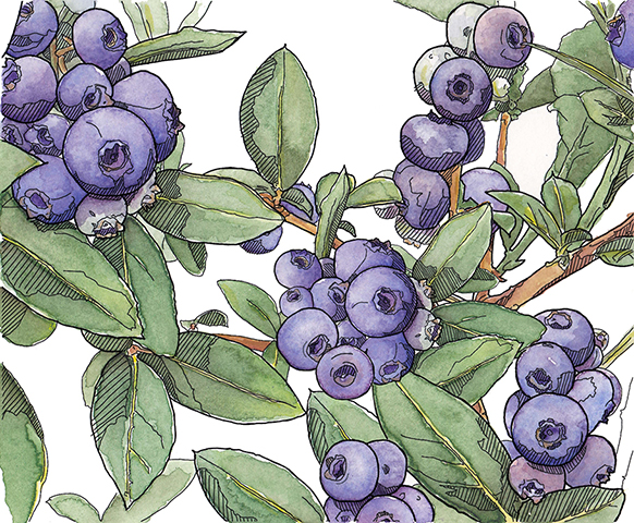 Blueberry Bush.jpg