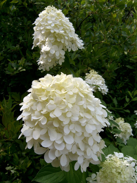Limelight Hydrangea,  photo credit