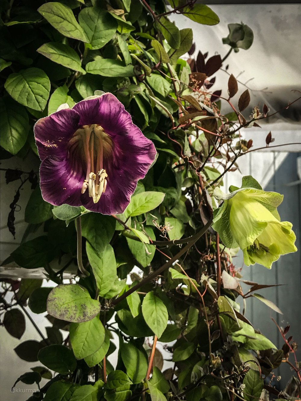 Some of the wonderful late season plants; Cobea scandens in hanging baskets