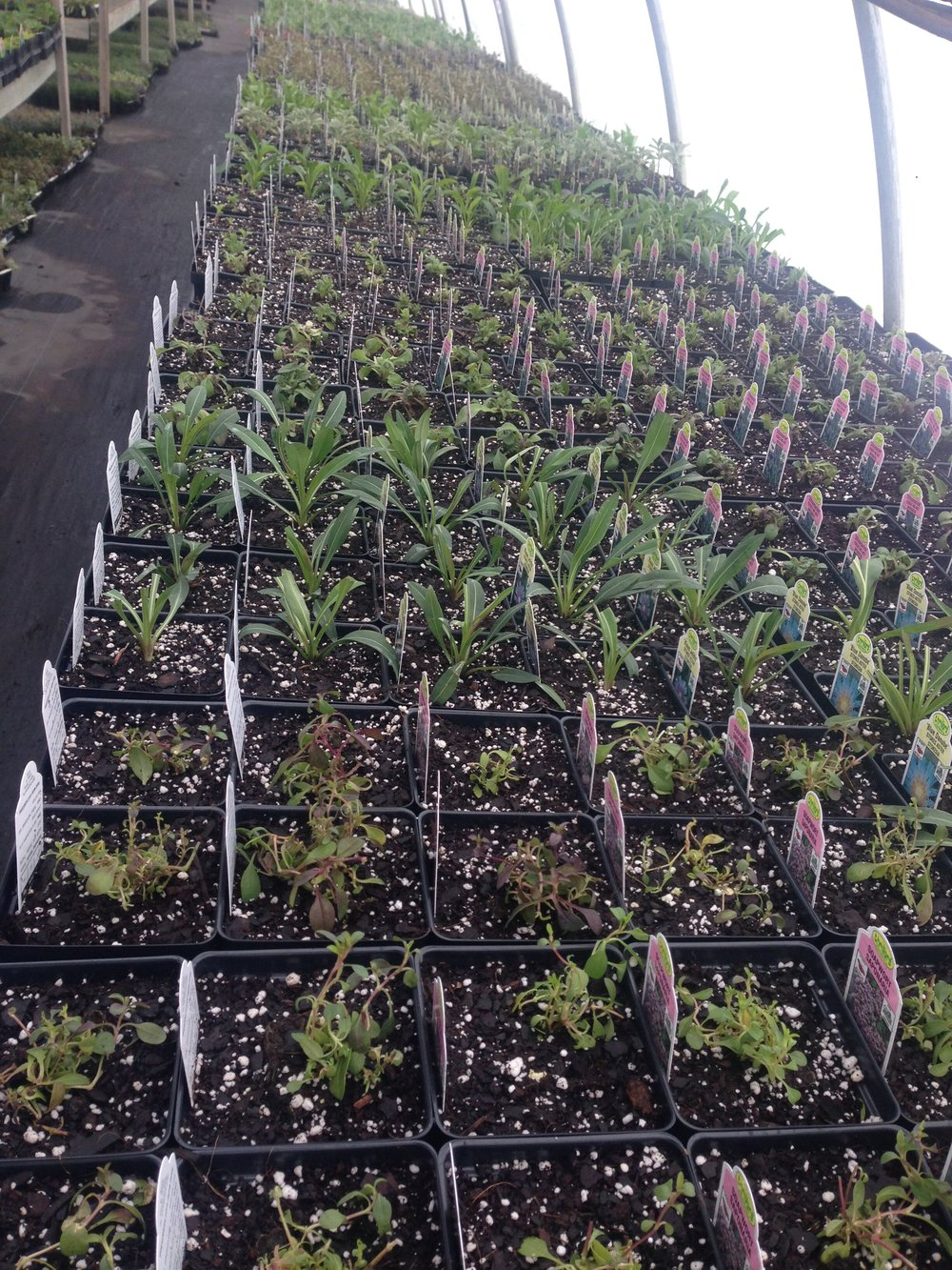Growing on 4in perennials, its economical to buy your perennials early in smaller sizes. better for the plants too!