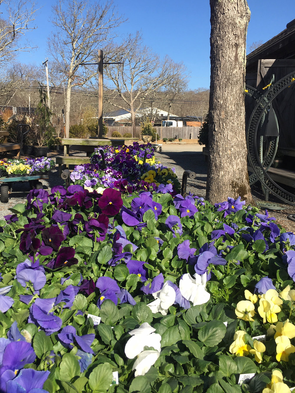 Pansies are in full color at the nursery!