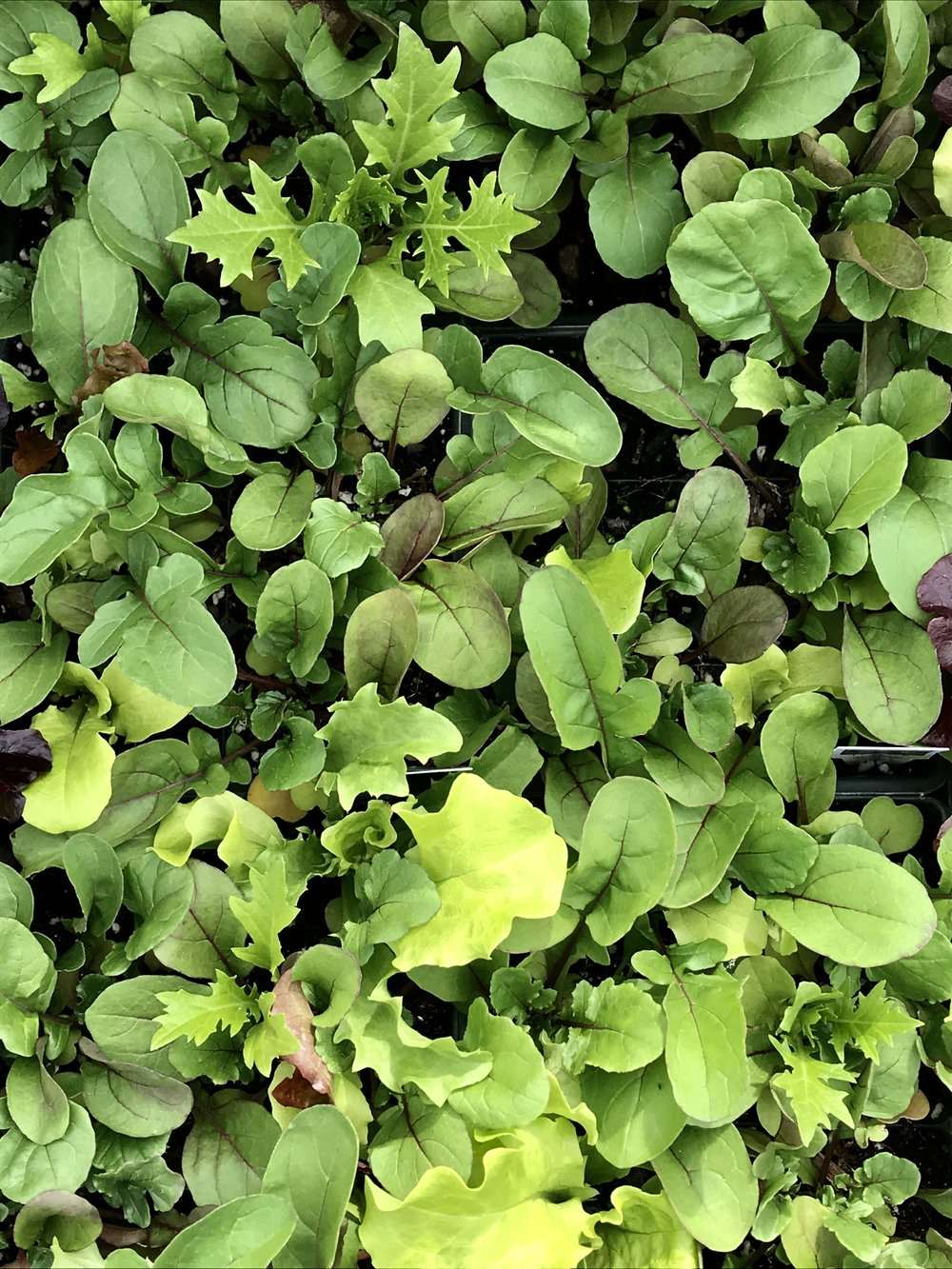 mixed mesclun greens