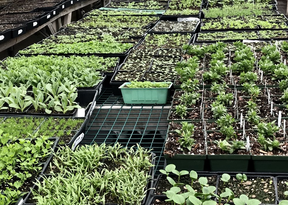 In the seeding house, we grow most of our veggies and greens here on site from trusted seed sources. We also grow all those other interesting and unusual annuals you find at VG.