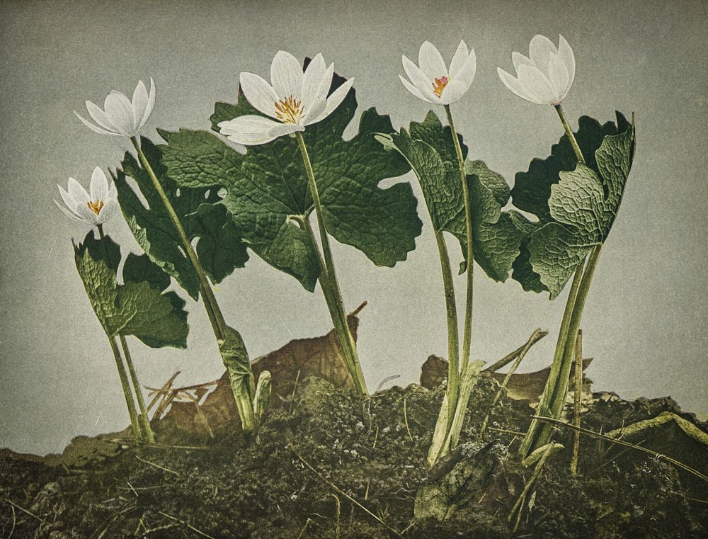 Bloodroot / credit:  Wild Flowers  by Homer D. House 1935 Pub. The Macmillan Company