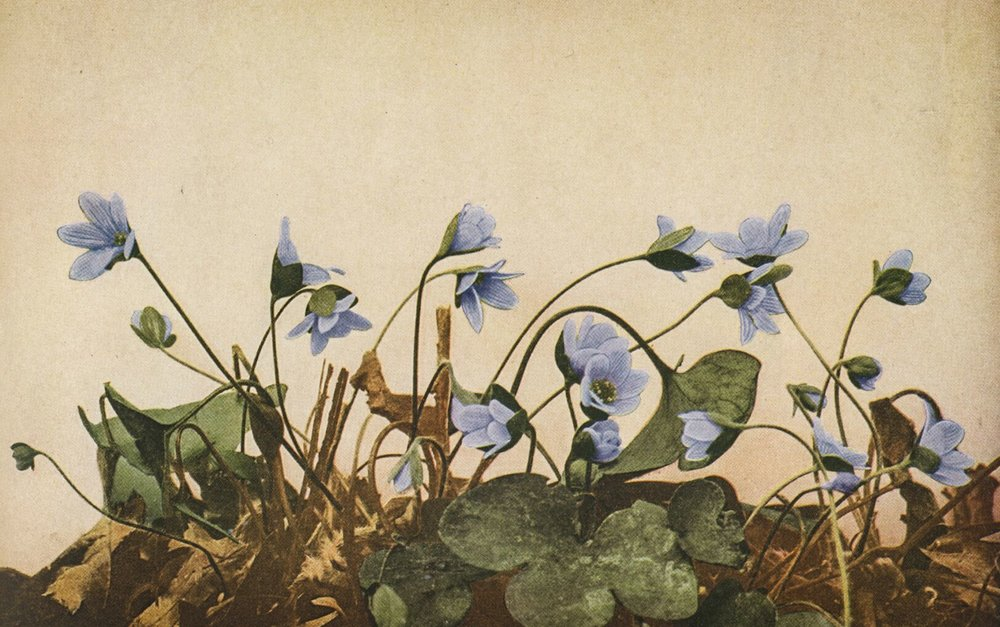 Hepatica nobilis / credit:  Wild Flowers  by Homer D. House 1935 Pub. The Macmillan Company