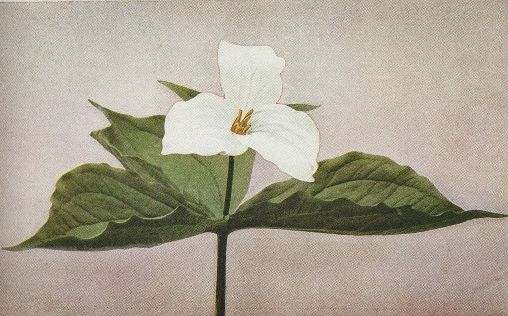 Trillium grandiflorum white form / credit:  Wild Flowers  by Homer D. House 1935 Pub. The Macmillan Company