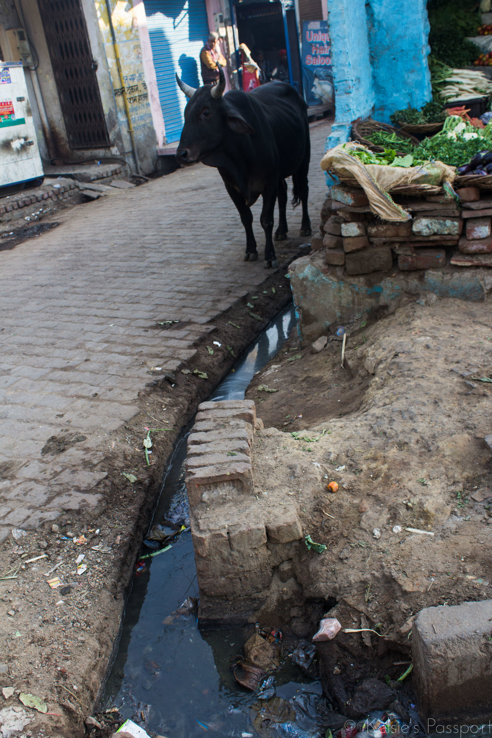 Water from the neighbourhood homes runs down the streets. The cows drink it.