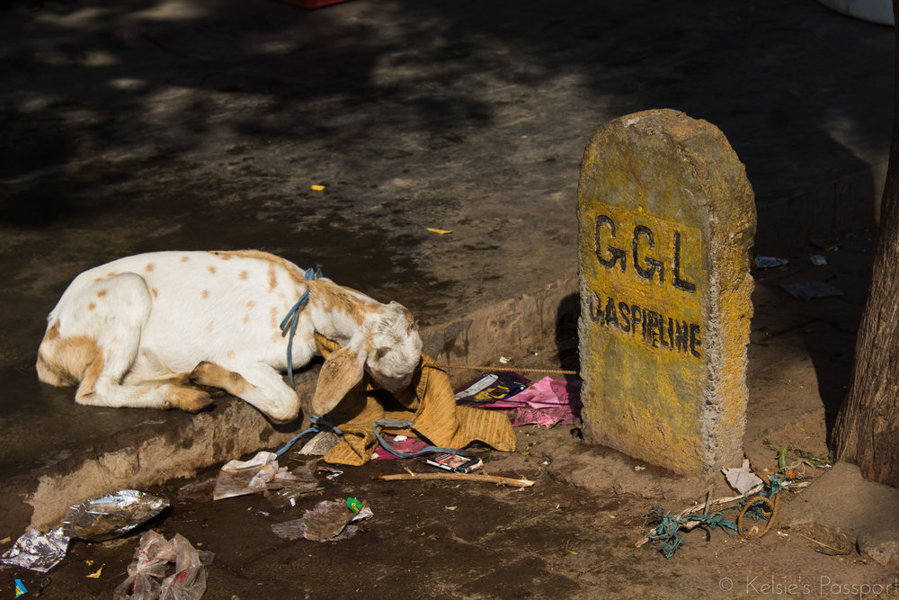 It only took me about 2 weeks to figure out these weren't tombstones, just other random markers. There are plenty of animals roaming the streets and eating the trash in Agra.