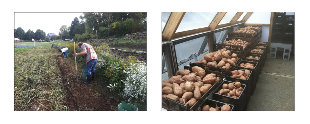 Jennifer and Miro bring in the harvest, which we cured in the passive solar greenhouse.