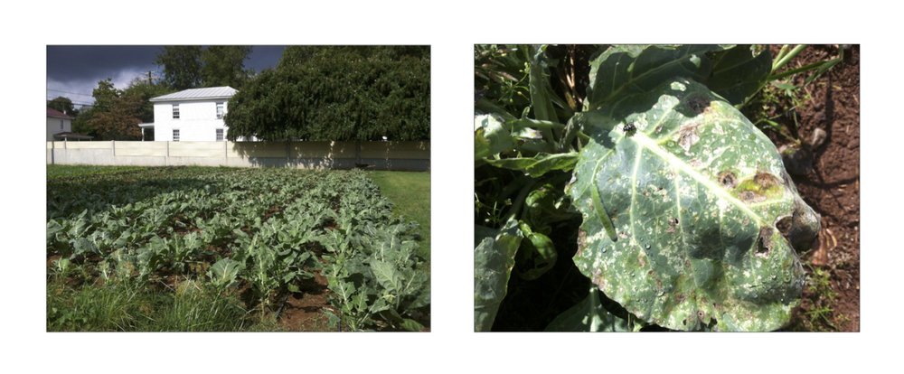 The collards at West Street looked good from a distance, but a close inspection was horrifying!