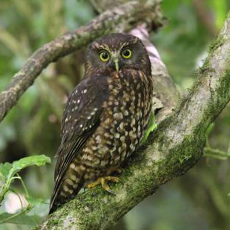 Image © Adam Clarke by Adam Clarke   (www.nzbirdsonline.org.nz)