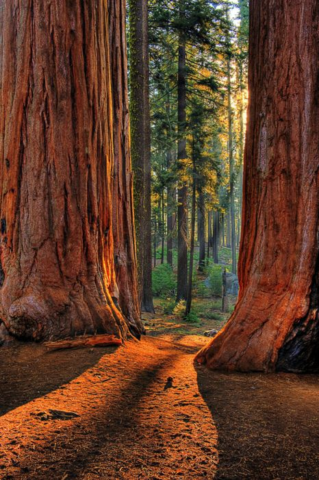 redwoods vertical.jpg