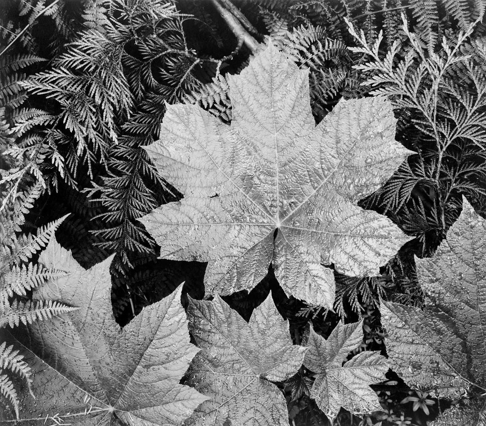 "Ansel Adams: Close-up of leaves, from directly above, ""In Glacier National Park,"" Montana"