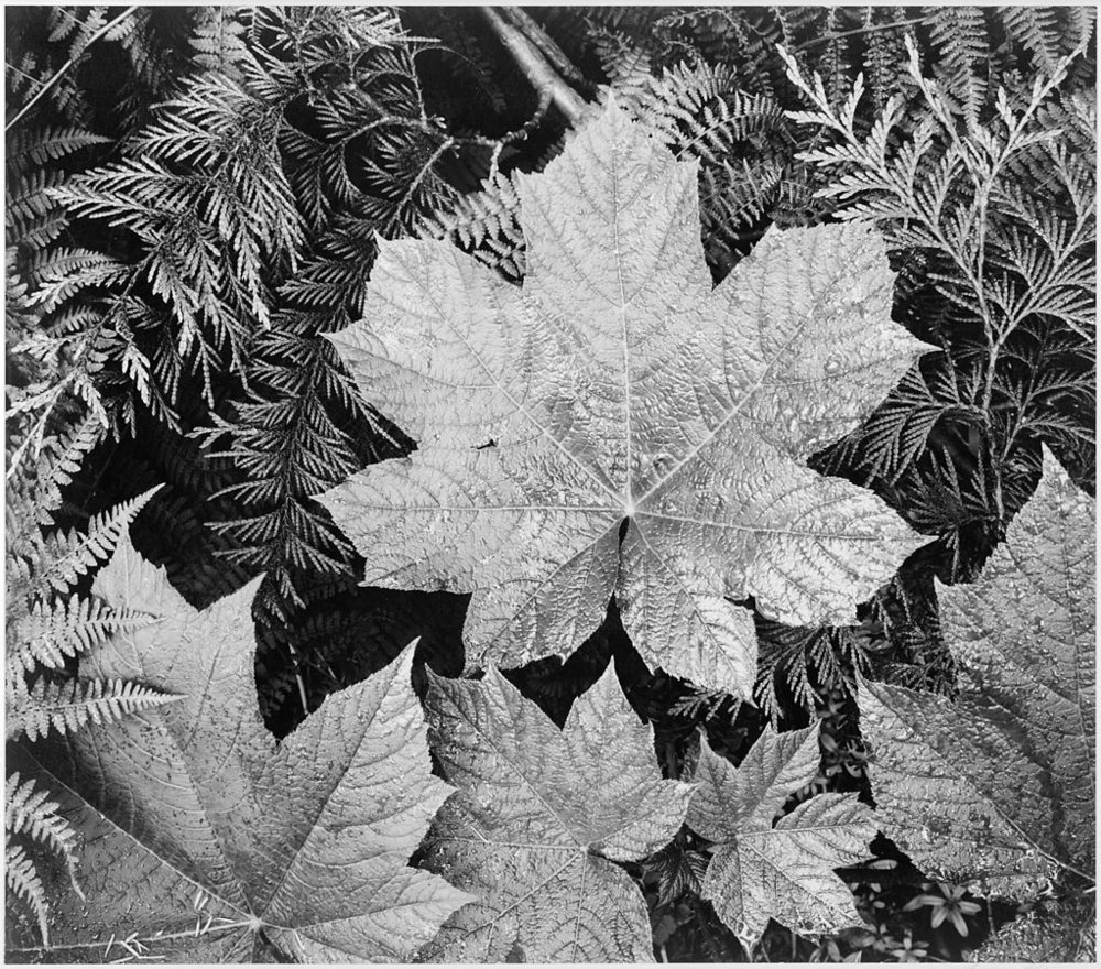 Ansel Adams leaves_-_National_Archives_79-AA-E23_levels_adj (1).jpg