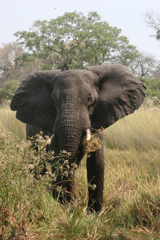 TAMSIN ACHESON ELEPHANT