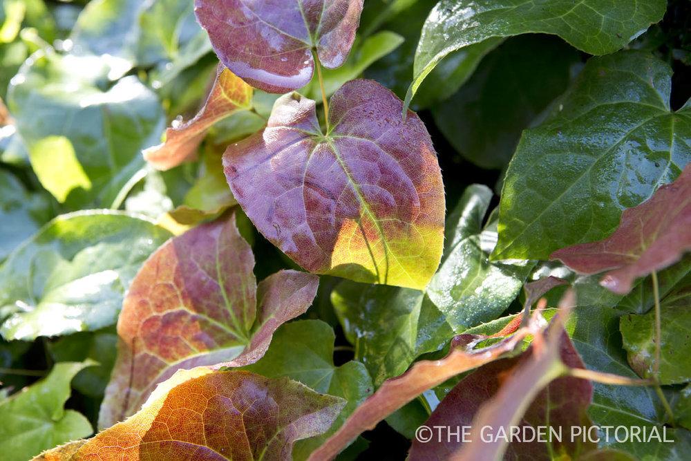 Epimedium foliage a1 .jpg