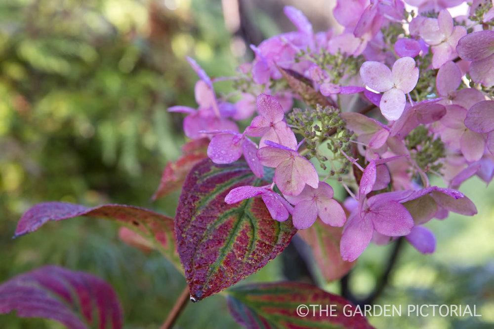 Hydrangea paniculata a2  copy.jpg