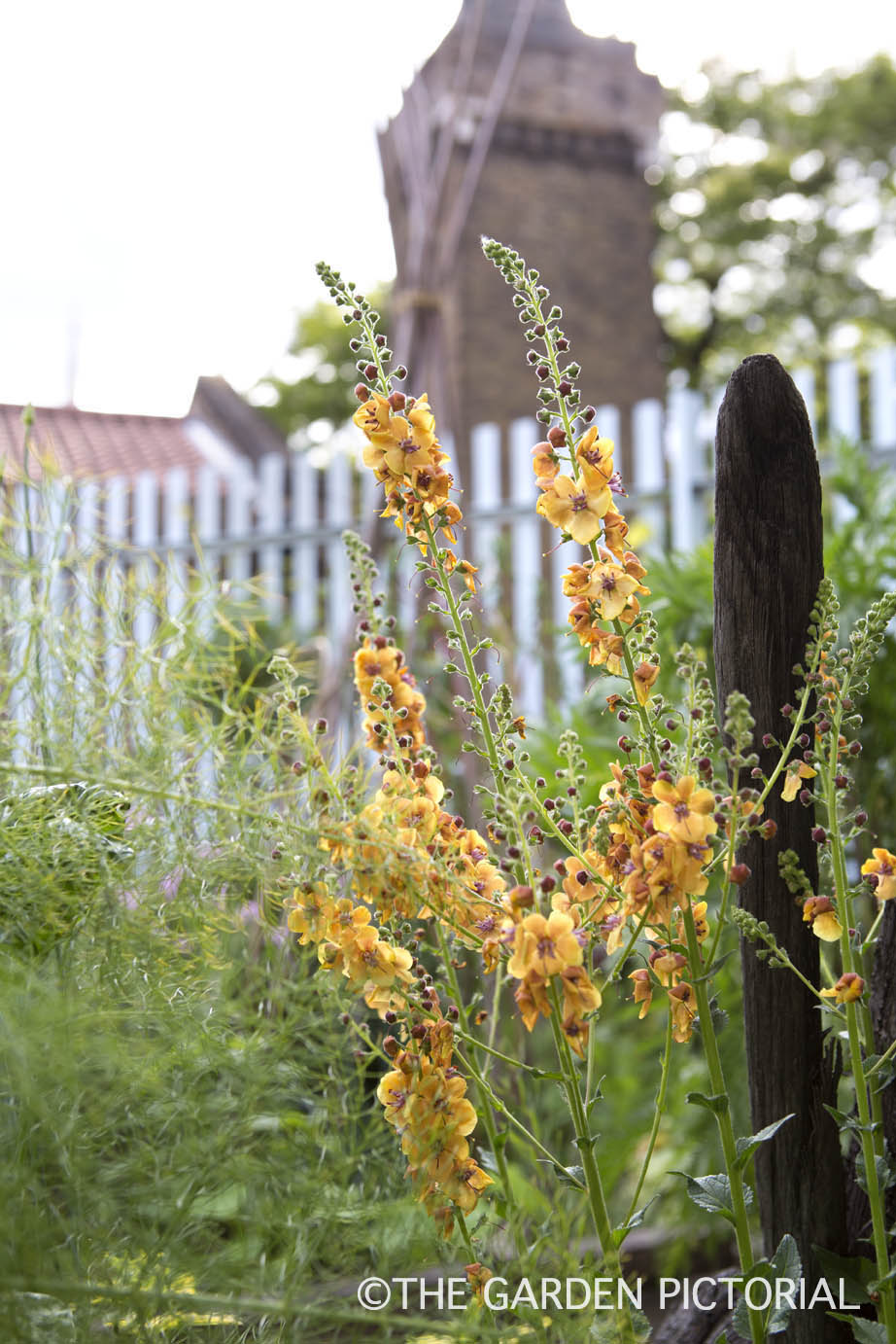 Verbascum, fennel a1  copy.jpg