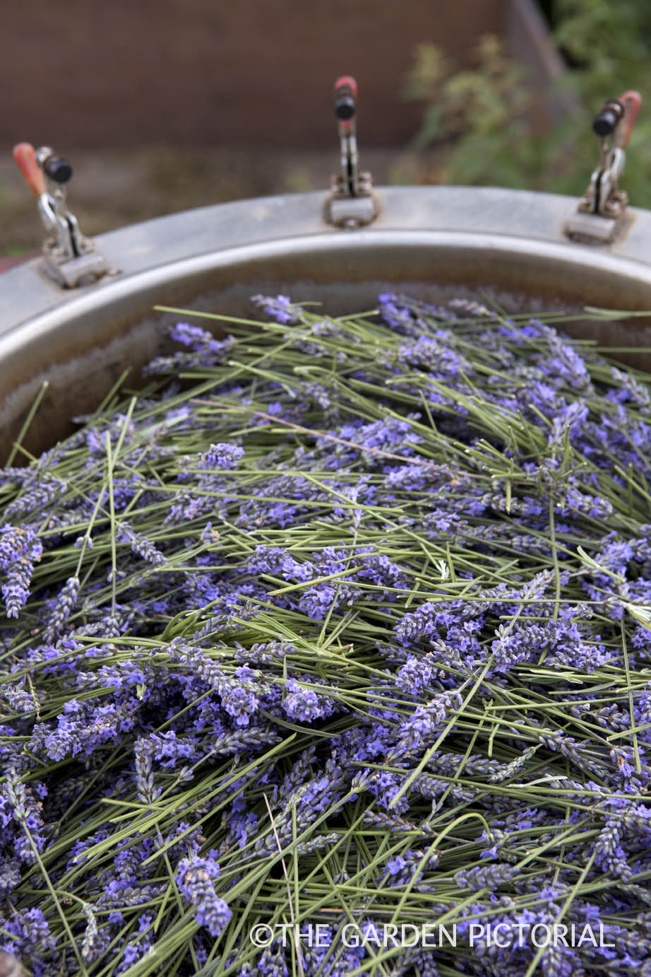 Lavender, Extracting Oil a1  copy.jpg