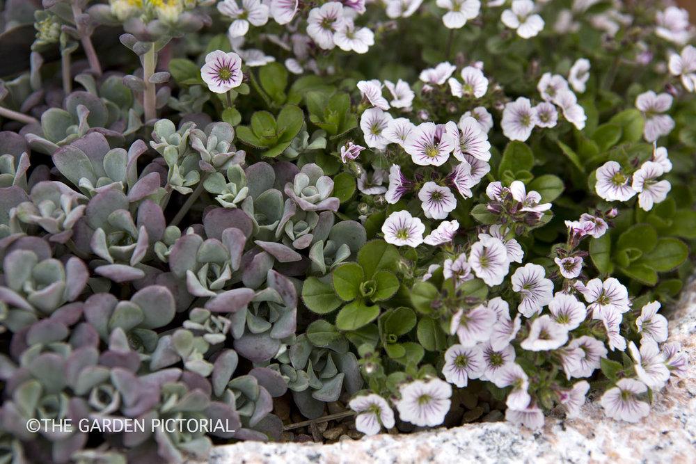 Sedum, Gypsophila a1  copy.jpg