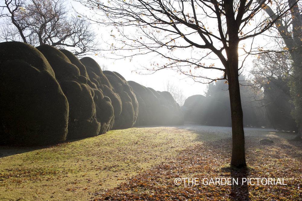 Yew Hedge a1 .jpg