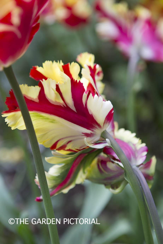 TulipPortrait g61 .jpg