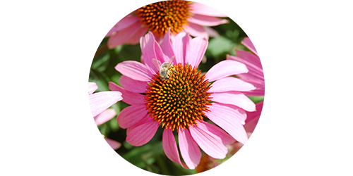body-guard_echinacea.png