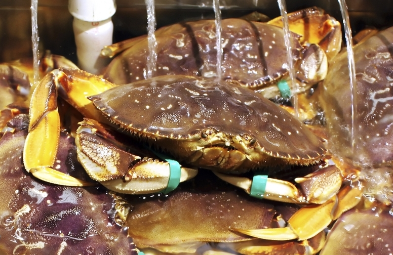 Live Dungeness Crab