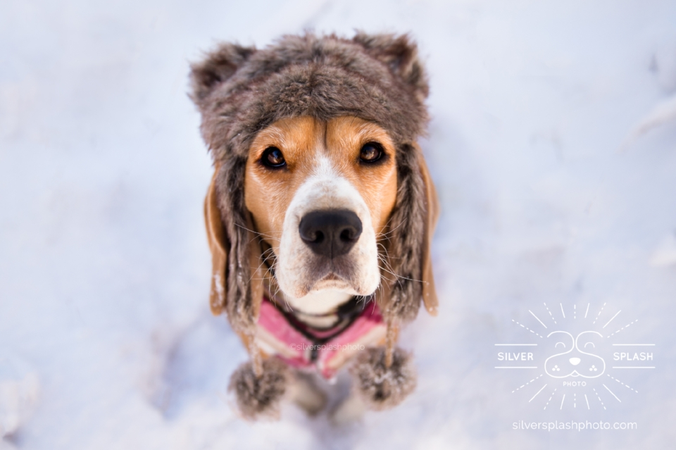 beagle-in-snow-hat.jpg