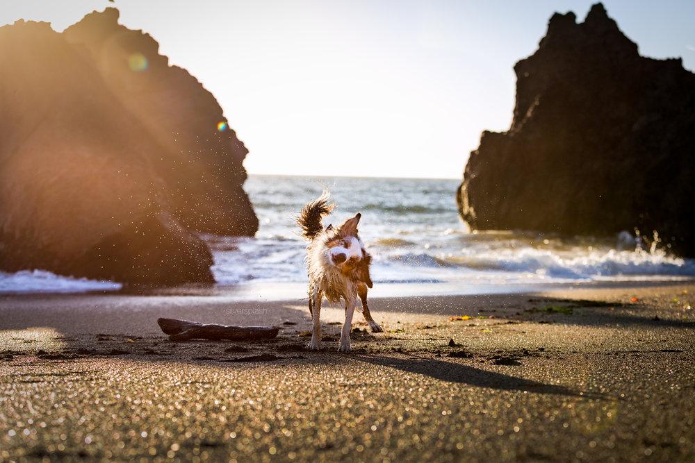 Marin-dog-photographer-aussie-beach-wm.jpg