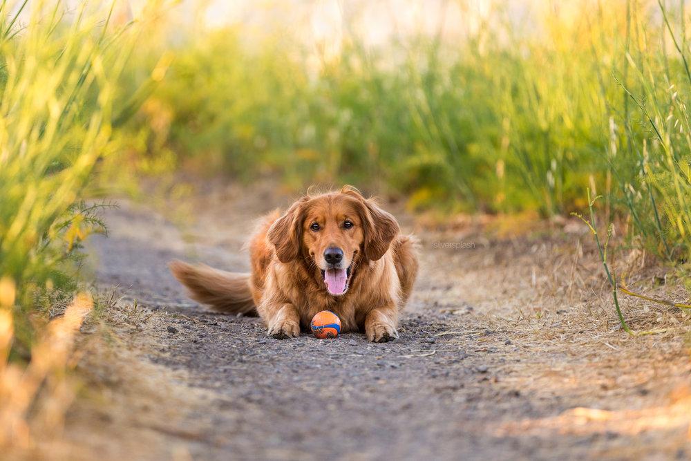 SilverSplashPhoto-golden-retriever-sausalito-dog-photography-wm.jpg