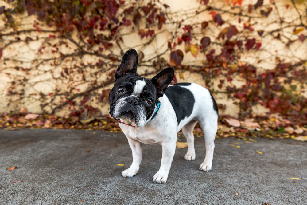 French-bulldog-dog-photography-novato-california-wm.jpg