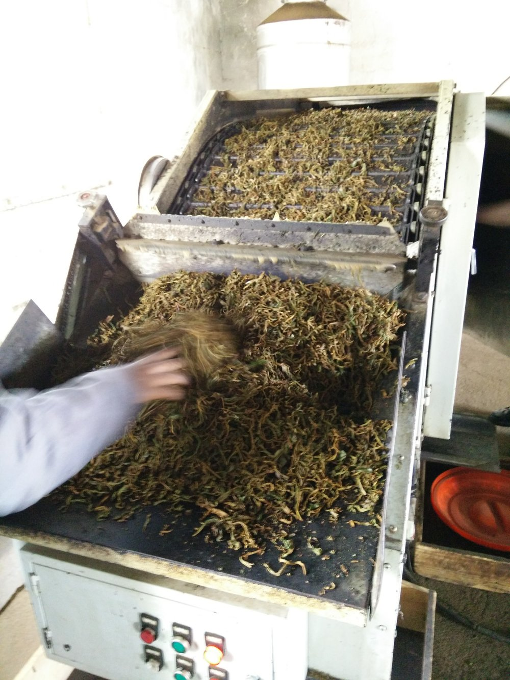Step 5: Drying of tea leaves