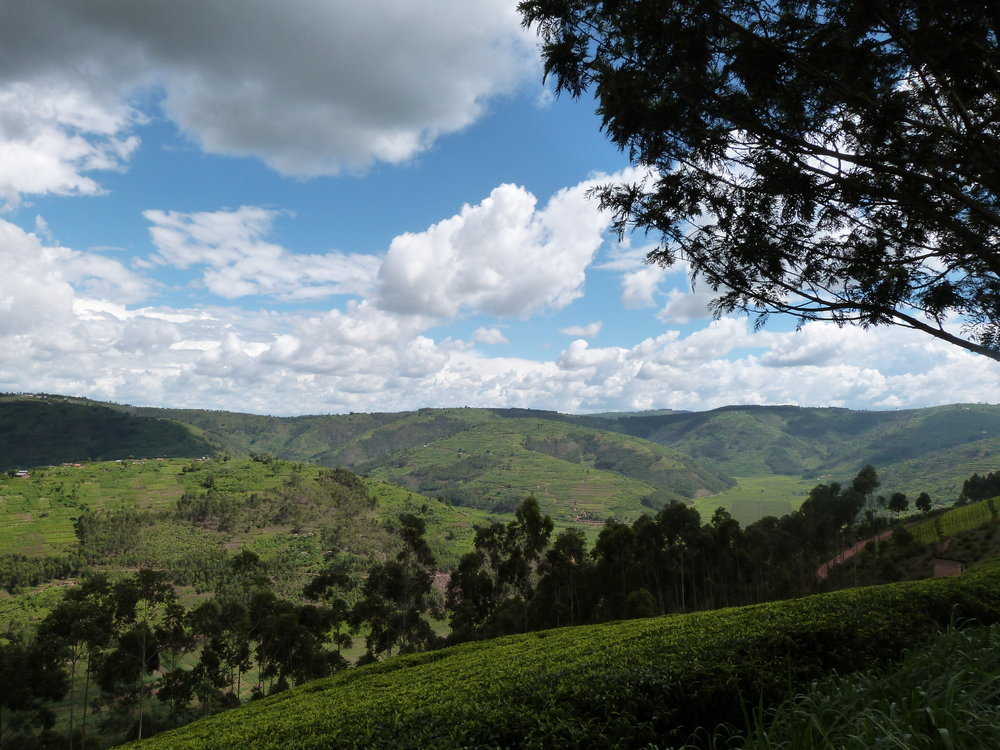 I source teas directly from the tea plantations...this is in Rwanda...