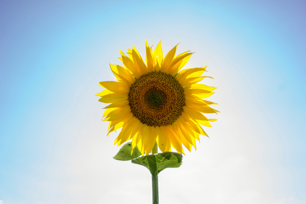 sunflower-contact.jpg