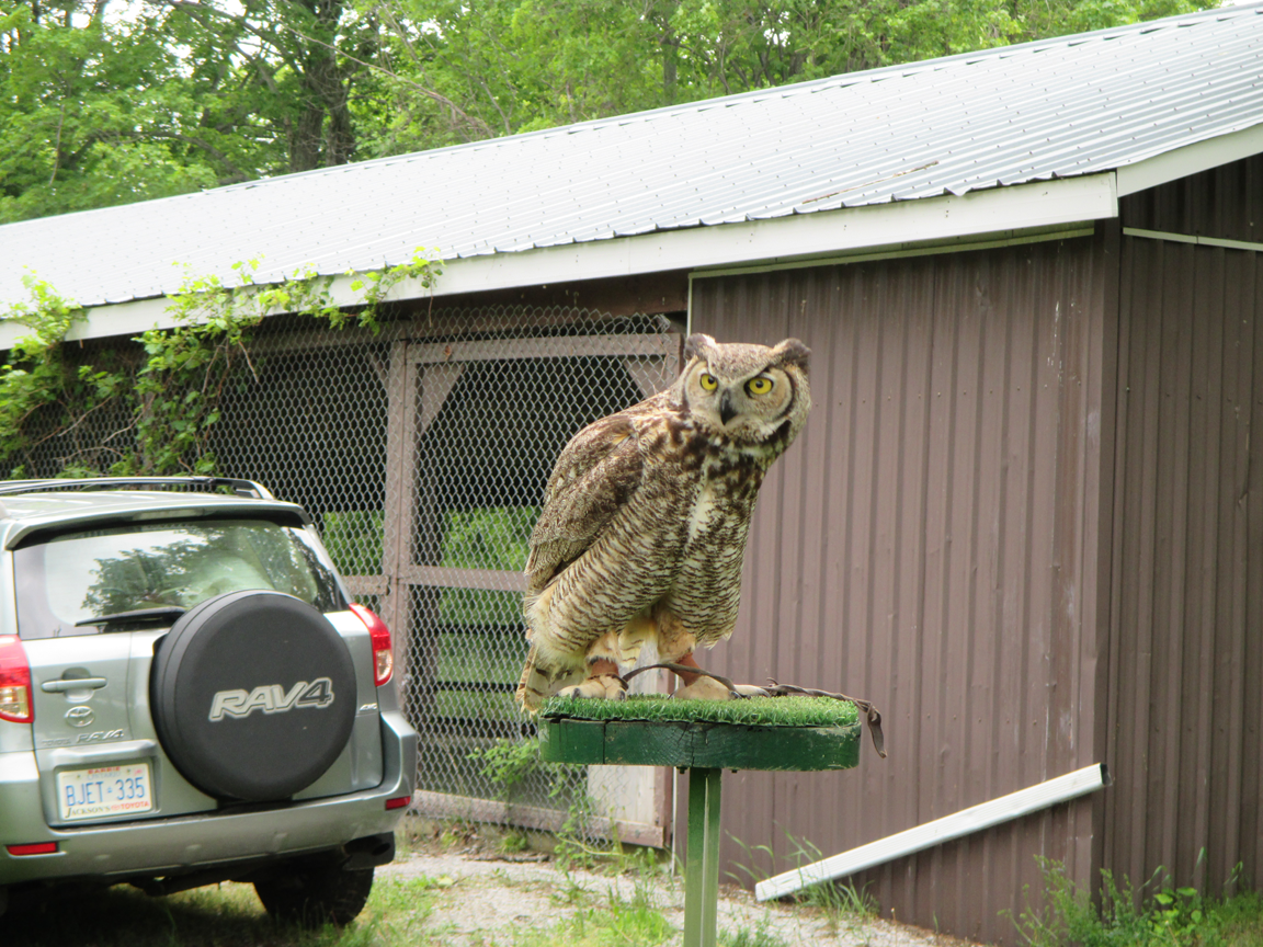 Mr Peterson the Great Horned Owl