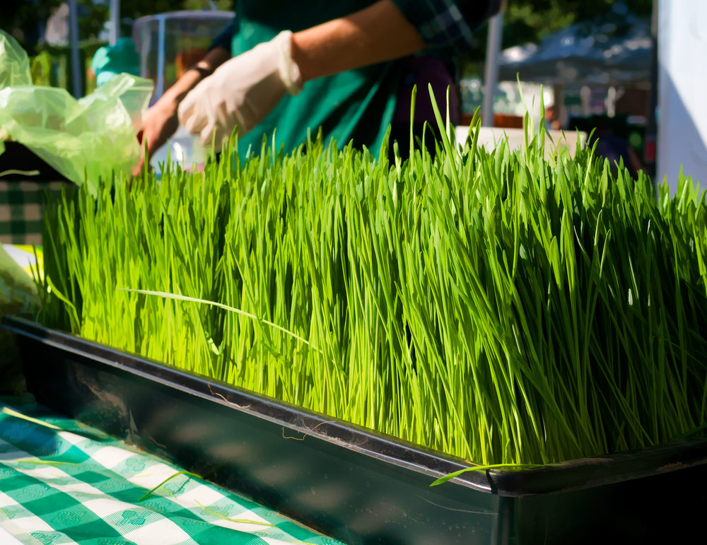 Wheatgrass ready to be turned into those potent shots