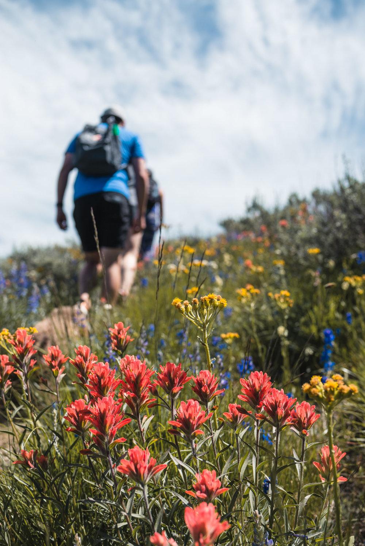 Mount Kobau hiking wildflowers