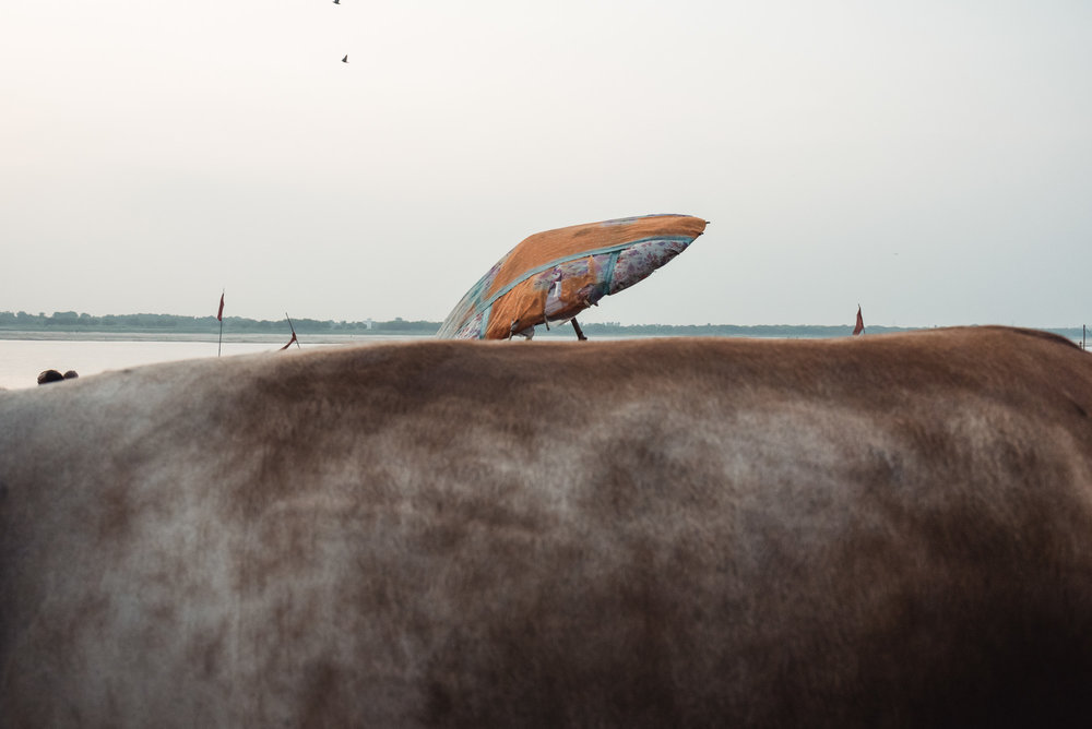 Cow's back and umbrella in Varanasi