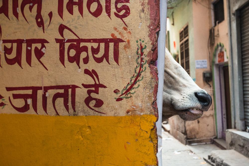 Cow's head around corner in Varanasi