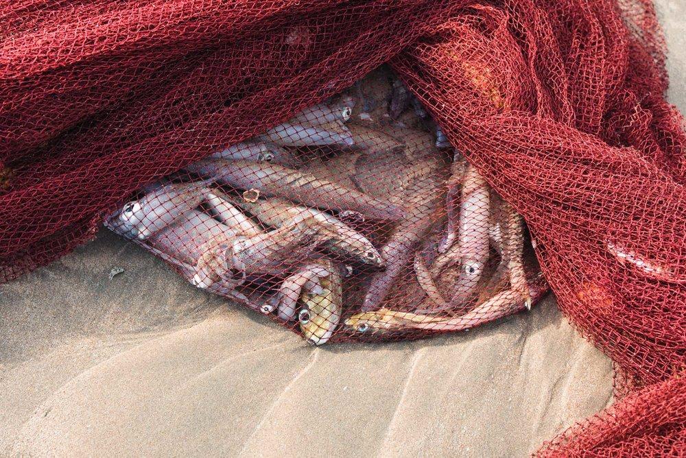 Net full of fish at Palolem Beach, Goa