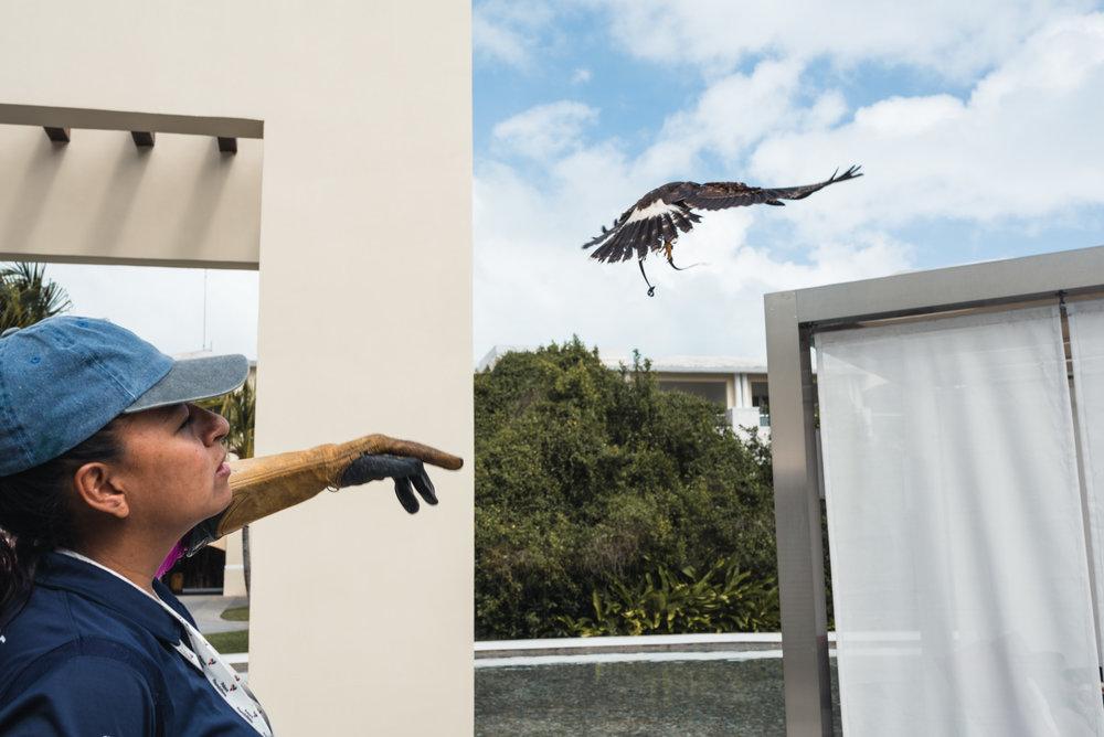 Woman with flying Harris Hawk